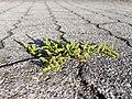 Herniaria glabra sl11.jpg