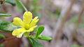 Hibbertia aspera flower (15851794147).jpg