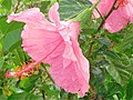 Hibiscus rosa-sinensis Pink.jpg