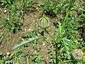 Hibiscus trionum sl35.jpg