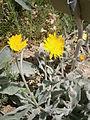 Hieracium lanatum 02.jpg
