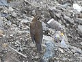 Himalayan forest thrush3.jpg