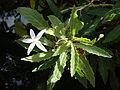 Hippobroma longiflora (2).JPG