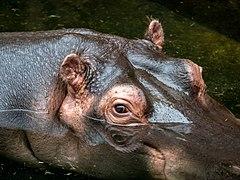 Hippopotamus amphibius im Kölner Zoo -20140321-RM-125057.jpg