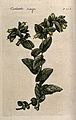 Honeywort (Cerinthe major); flowering stem. Colour and colou Wellcome V0044253.jpg