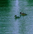 Hooded Merganser - mixed pair 1.jpg