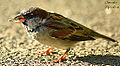 House Sparrow eating Grasshopper (10120847764).jpg
