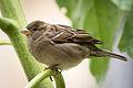House Sparrow f 3030.jpg