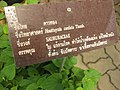 Houttuynia cordata Gardenology.org-IMG 7659 qsbg11mar.jpg