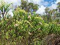 Hubertia ambavilla.JPG