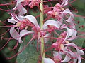 Humboldtia brunonis flowers at Kunnathurpadi (9).jpg
