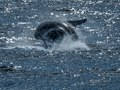Humpback Whale.tif