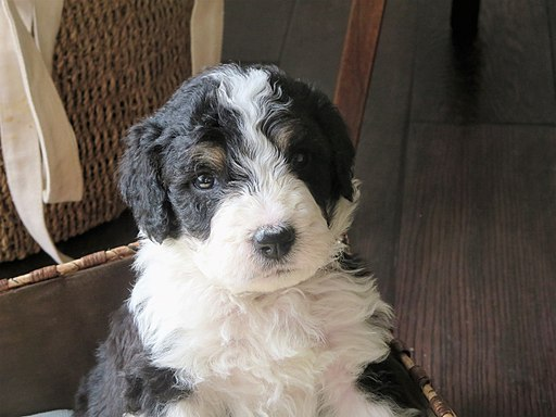Hurricane Creek Mini Bernedoodle Puppy
