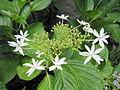 Hydrangea macrophylla 'Hachijo Chidori'.jpg