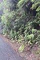 Hydrangea macrophylla (Thunb.) Ser. (AM AK361280-2).jpg
