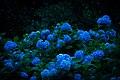 Hydrangeas At Night (73435049).jpeg