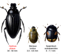 Hydrophilidae.png