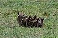 Hyena Muddy and Rolling (49899041791).jpg