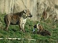 Hyena mother and cub (8059941000).jpg