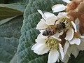 Hymenoptera on blooming Eriobotrya japonica.jpg