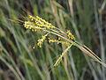 Hyparrhenia hirta 20150708 c.jpg