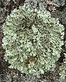 Hypotrachyna sp. - Flickr - pellaea (4).jpg