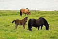 Icelandic horses with foal.jpg