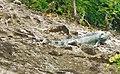 Iguana iguana (Iguanidae ).jpg