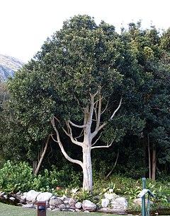 240px ilex mitis tree in harold porter gardens   south africa