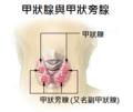 Illu thyroid parathyroid zh.png