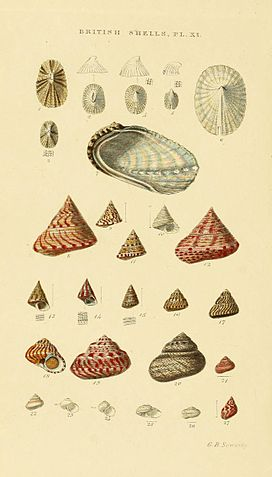 Illustrated Index of British Shells Plate 11.jpg