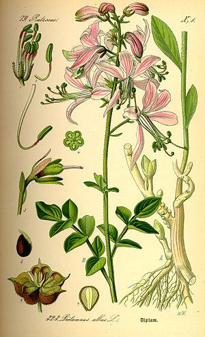 Dictamnus - Image: Illustration Dictamnus albus 0