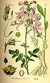 Illustration Dictamnus albus0.jpg