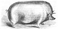 Illustrirte Zeitung (1843) 12 182 5 Eber Herrn Cartwright's aus Burton am Trent.PNG