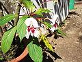 Impatiens grandis-flower-yercaud-slaem-India.JPG