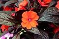 Impatiens hawkeri Harmony Orange 0zz.jpg