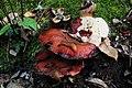 Impressive Fistulina hepatica (GB= Beefsteak polypore fungus or Ox Tongue, D= Leberreischling, auch Leberpilz oder Ochsenzunge, F= Langue de bœuf, NL= Biefstukzwam) with snails. Especially the bottomside is very tastfu - panoramio.jpg