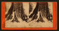 In the Mariposa Grove, Mariposa County, Cal, by Watkins, Carleton E., 1829-1916 6.png