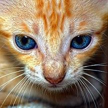 Kucing Wikipedia Bahasa Melayu Ensiklopedia Bebas