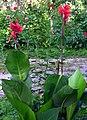 Indine kana Cana indica.jpg