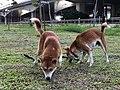 Indochina Dog.jpg