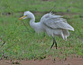 Intermediate Egret (Mesophoyx intermedia)- In Breeding plumage at Bharatpur I IMG 5617.jpg