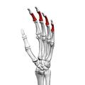 Intermediate phalanges of the hand (left hand) 03 ulnar view.png