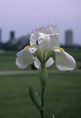 Iris albicans fort worth.jpg