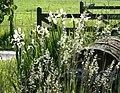 Iris at Overcourt Farm - geograph.org.uk - 855729.jpg