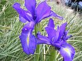 Iris latifolia1.jpg