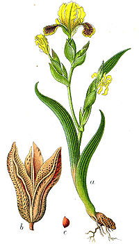Iris variegata Sturm57