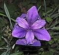 Iris virginica (Virginia iris) (Newark, Ohio, USA) 2 (27196086054).jpg