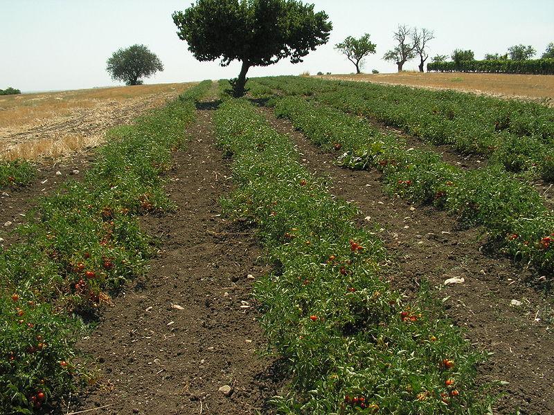 File:Italian Tomato Farm.JPG