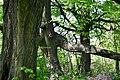 Ivanchytsi Rozyshchenskyi Volynska-Tilia cordata nature monument-details-2.jpg